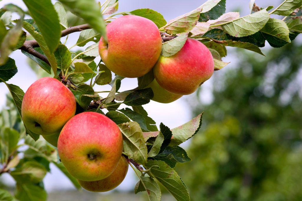 Яблоня Пепин Шафранный описание сорта