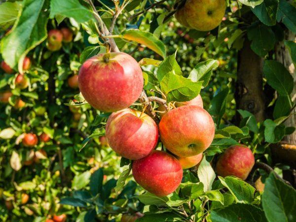 Плоды отличаются хорошими вкусовыми качествами