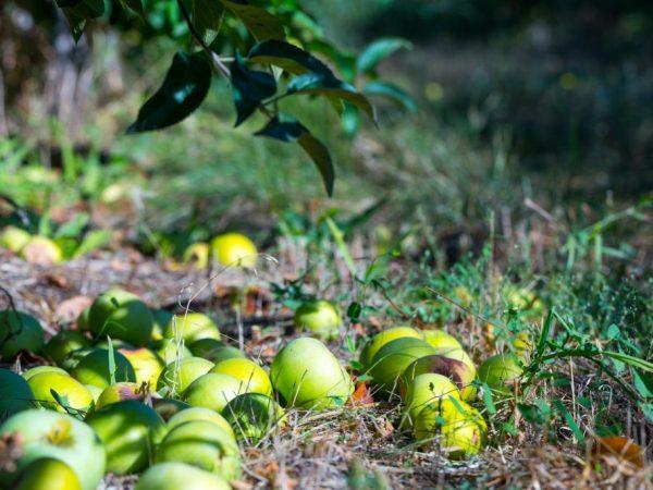 Причины опадения яблок