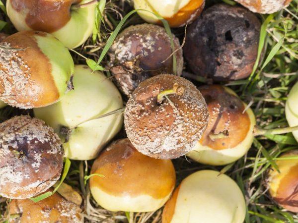 Гниение яблок может начаться из-за повышенной влажности