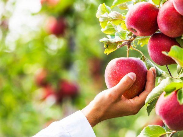 Сорт яблони Подарок Садоводам