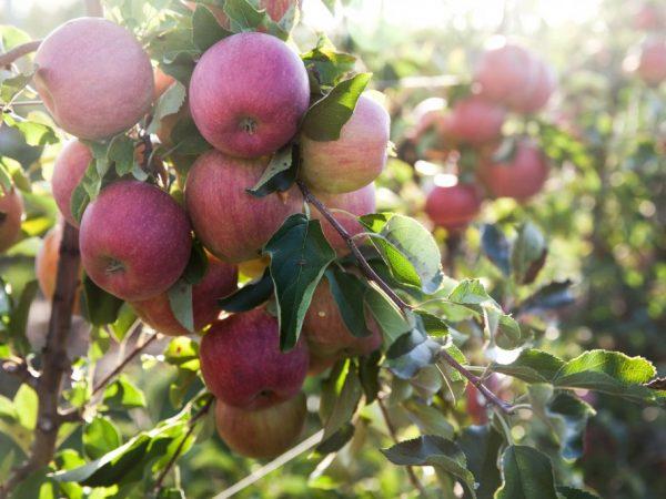 Во время плодоношения дерево нужно обязательно подкармливать