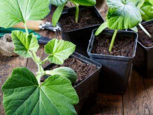 Когда и как сажать рассаду тыквы