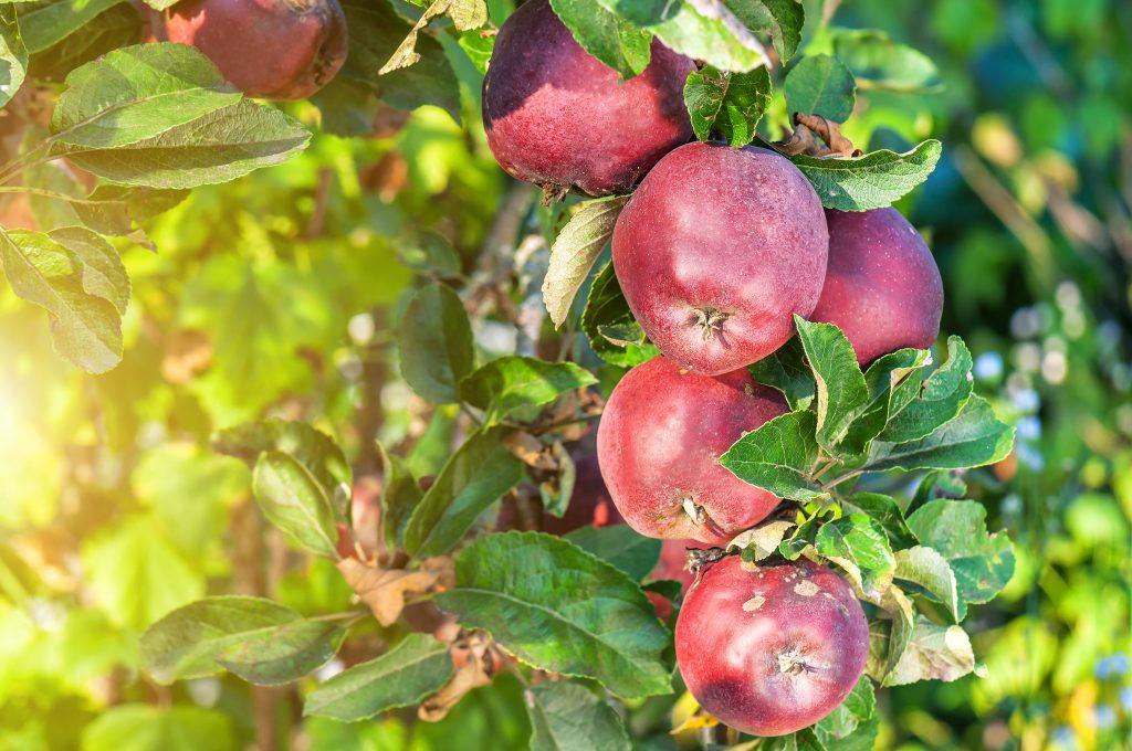 Перспективный сорт яблонь Ред Делишес