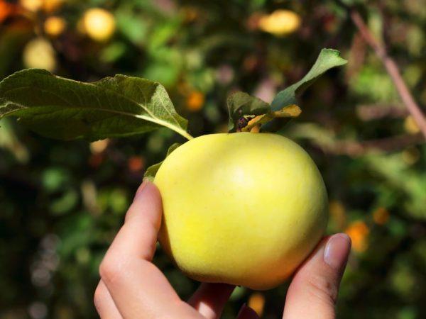 Сортовые особенности яблони Россиянка