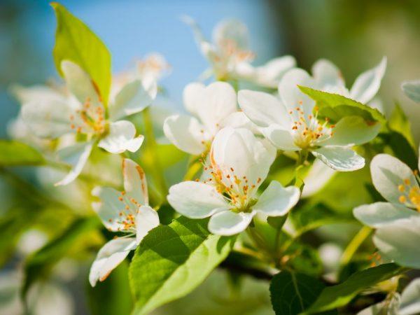 Цветение и плодоношение яблони зависит от погодных условий