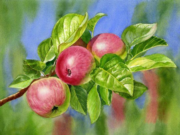 Внешний вид яблони очень красивый