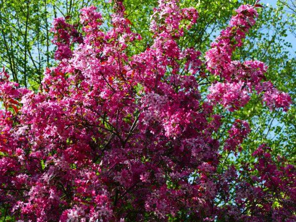 Дерево имеет очень яркие соцветия