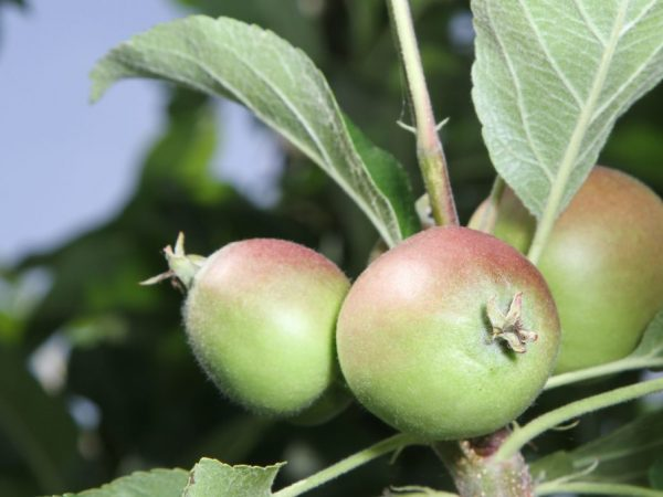 Яблоня нуждается в удобрении во время завязи плодов