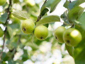 Сортовые особенности яблони Солнышко