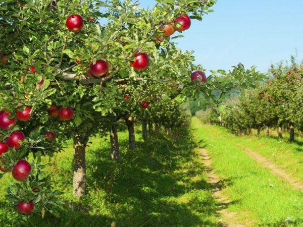 Самые популярные сорта яблонь для Урала