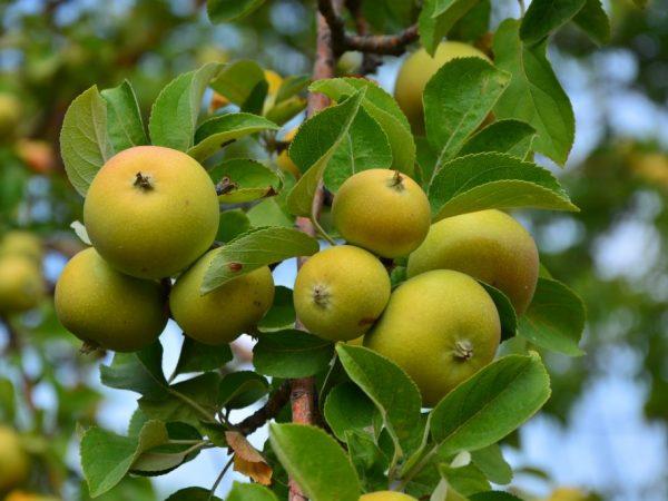 Дерево имеет устойчивость к заболеваниям