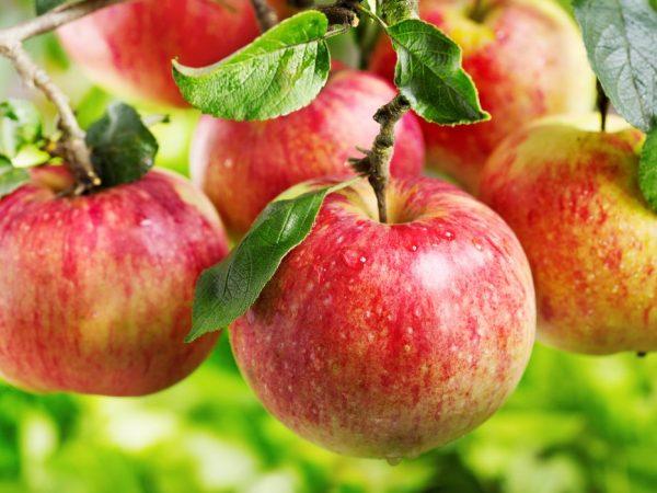 Яблочки быстро созревают