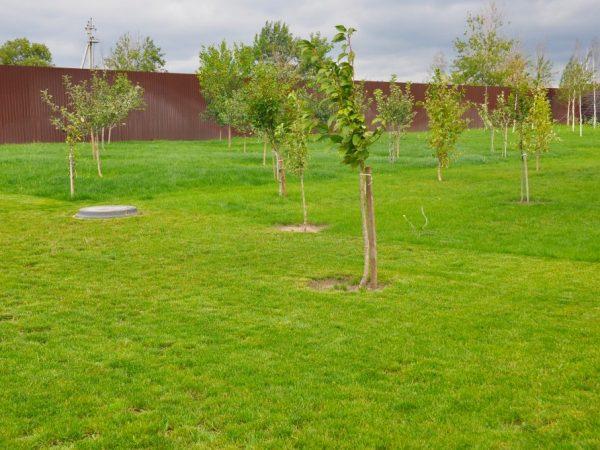 Деревце нуждается в регулярном поливе