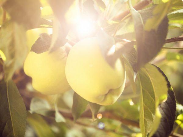 Выращивание яблони Уральское наливное