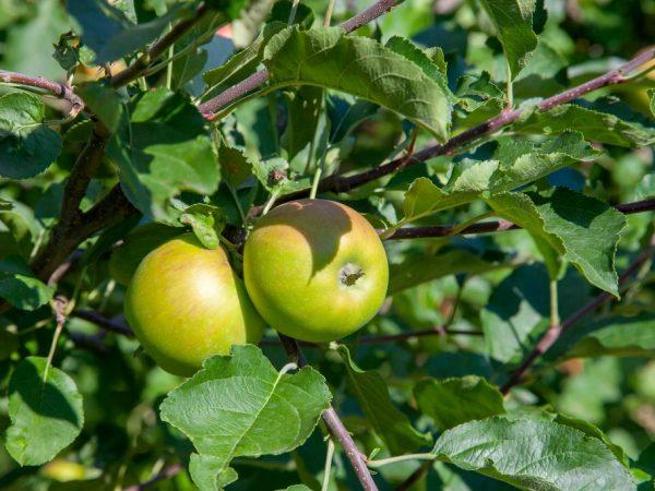 Яблоки можно хранить в свежем виде три месяца