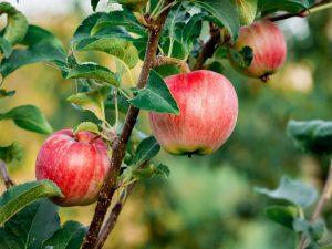 Выращивание яблони Уральское розовое