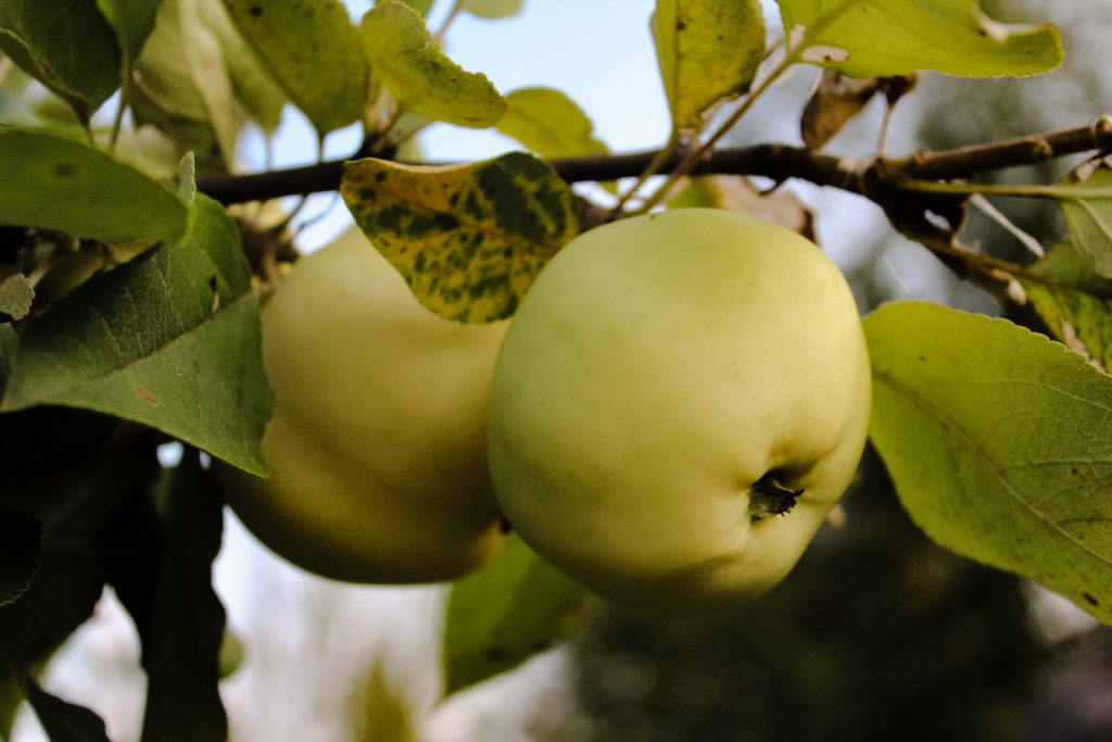 Сорт яблони Юнга характеристика плюсы и минусы