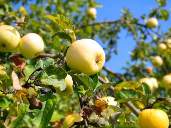 Погодные условия влияют на рост яблони