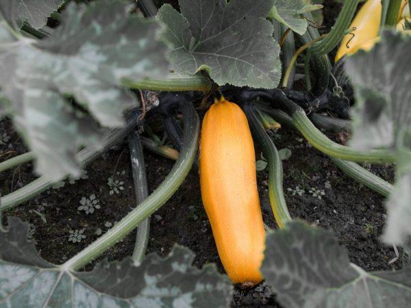 Плоды вырастают больше метра в длину
