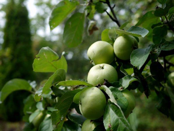 Сорт яблони Аркад