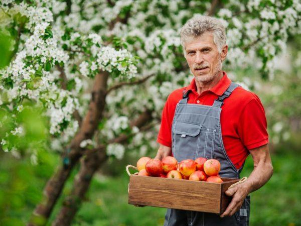 Яблоня порадует вас урожаем уже в июле