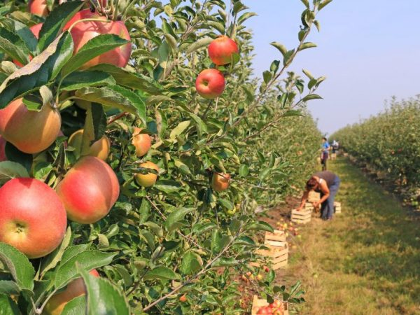Плоды обладают хорошими вкусовыми качествами