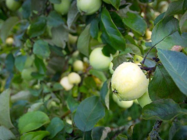 Урожайность зависит от возраста яблони