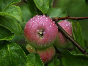 Выращивание яблони Боровинка