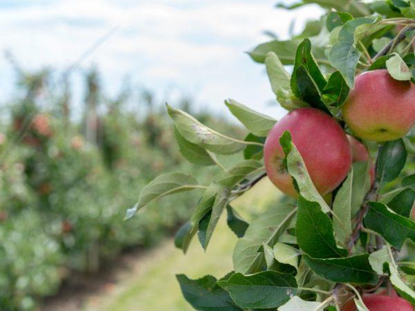 Разновидность яблони выбирают в связи с климатом