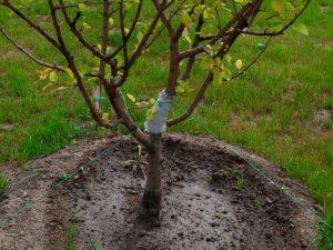Особенности подвоев для яблони