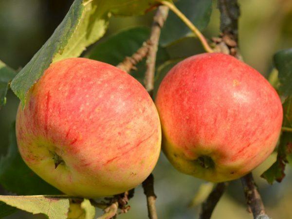 Употребление яблок благотворно влияет на здоровье зубов