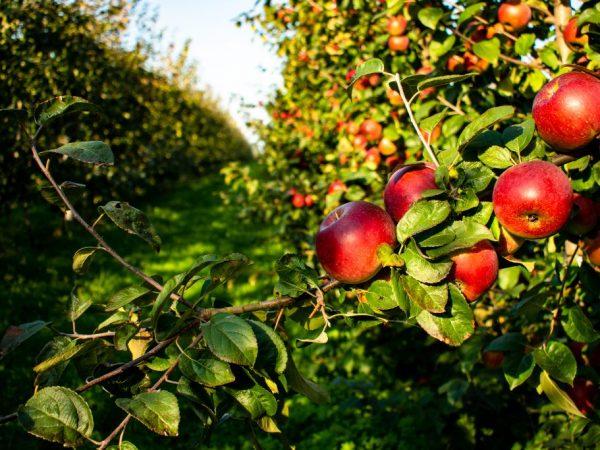 Плоды богаты витаминами