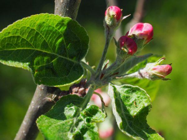 Яблоня цветет крупными цветами
