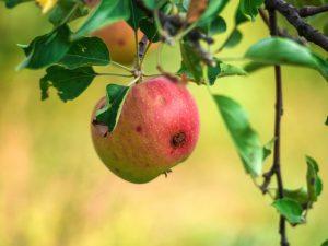 Причины появления червивых яблок