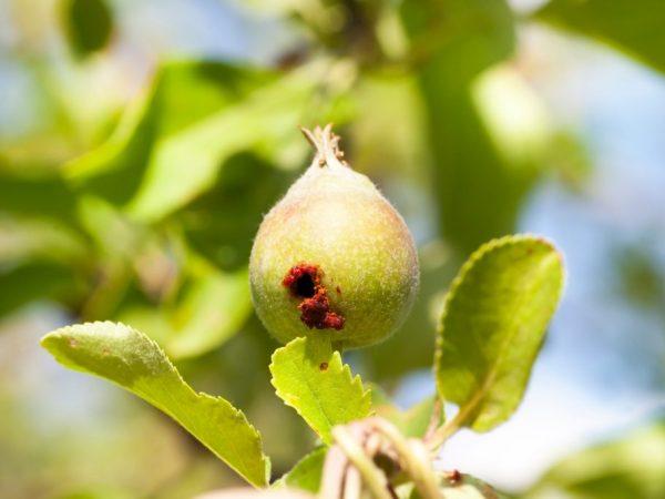 Яблони от плодожорки можно защитить