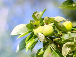Выращивание яблони Чудное