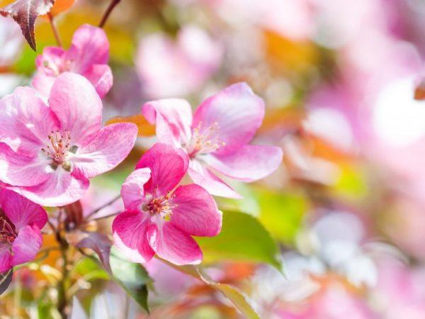 Декоративные яблони украшают сад