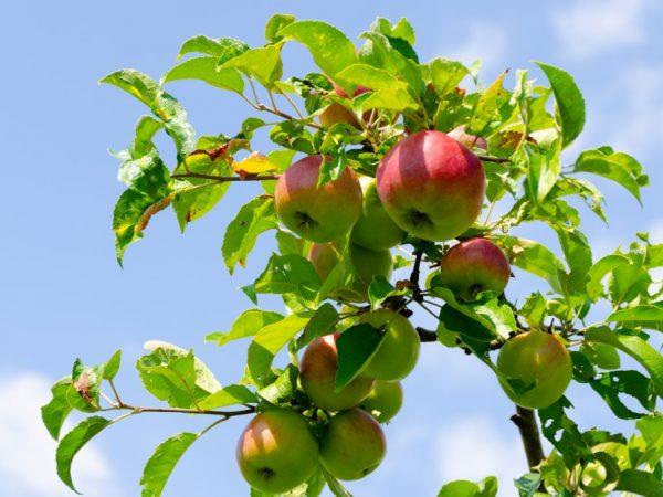 С дерева можно собрать 80 кг плодов