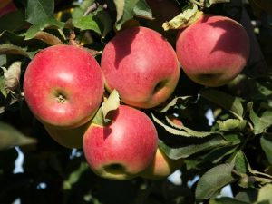 Популярные сорта яблонь для Сибири