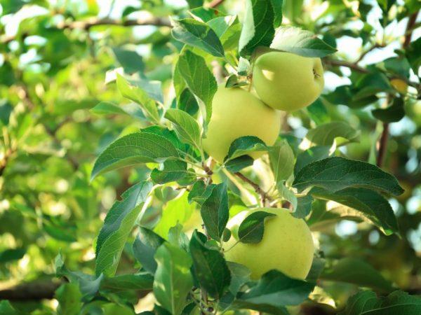 Плоды хранятся в свежем виде до 4 месяцев