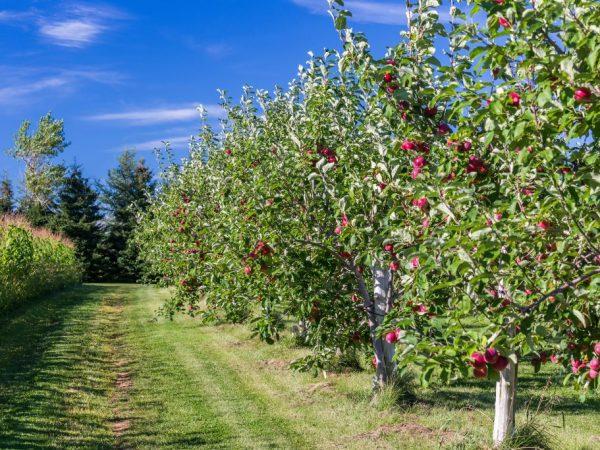 Профилактические меры помогут сохранить здоровье яблонь