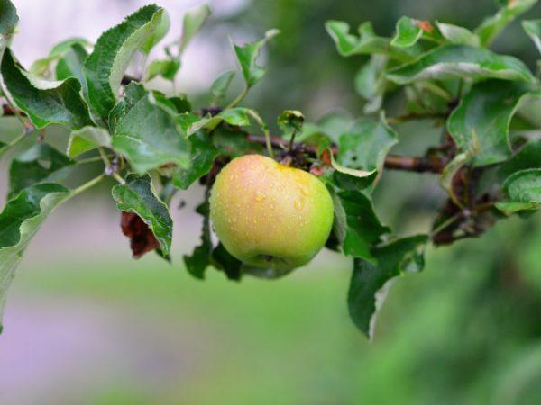 Яблоню поливают три раза за сезон