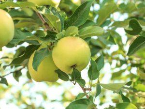 Сорт яблони Алтайский Феникс
