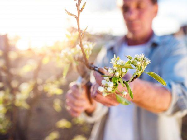 Обрезка помогает улучшить урожайность