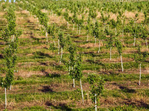 Деревья нужно обеспечить качественным уходом