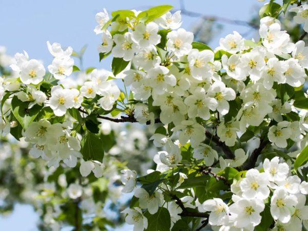 Обработка поможет сохранить здоровье дерева