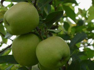 Характеристика яблок Голден