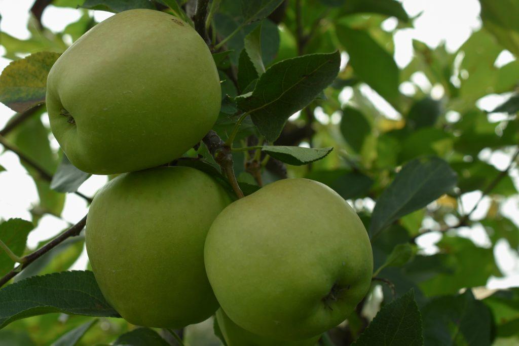 Сорт яблок Голден: описание сорта, правила посадки и ухода за деревьями