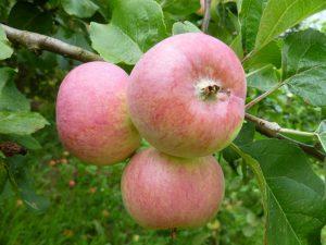 Сорт яблони Грушовка